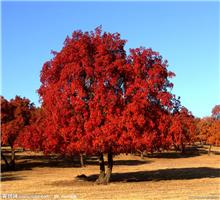 <em style='color:red'>五角枫</em>图片