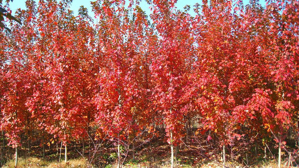 <em style='color:red'>加拿大红樱</em>图片