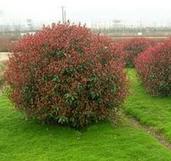 红叶小檗球图片