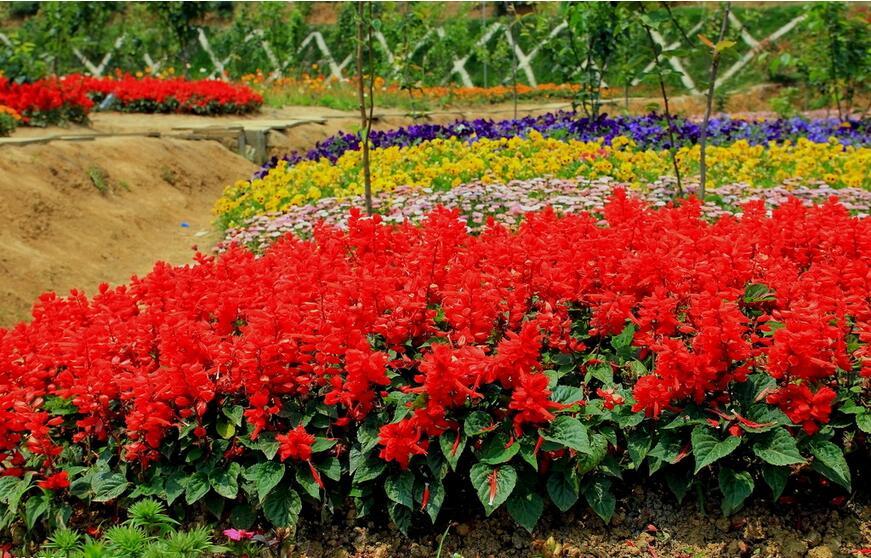 <em style='color:red'>一串红</em>图片