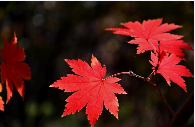 <em style='color:red'>九角枫</em>图片